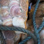 Coquilles Saint-Jacques en sac filet